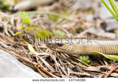 Slow Worm Stock Photos, Royalty.