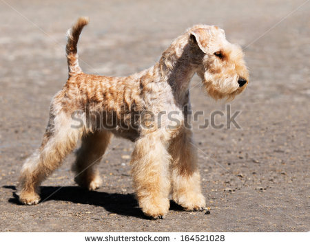 Lakeland terrier clipart.