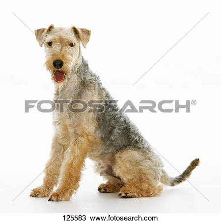 Stock Photo of Lakeland Terrier.