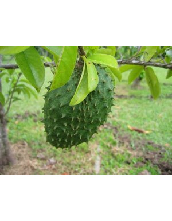 Buy Lakshman Phal Plant OR Soursop (Annona muricata) Online at.