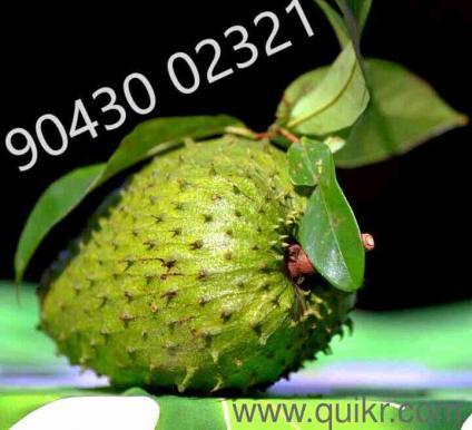 Lakshmana phala or graviola fruit Online Shopping: Sell, Buy.