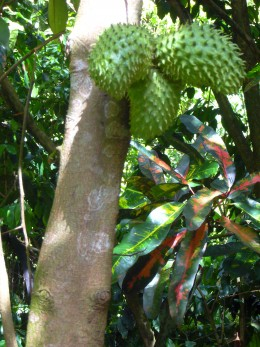 The Nutritional And Health Benefits Of Guanabana, Soursop Or.