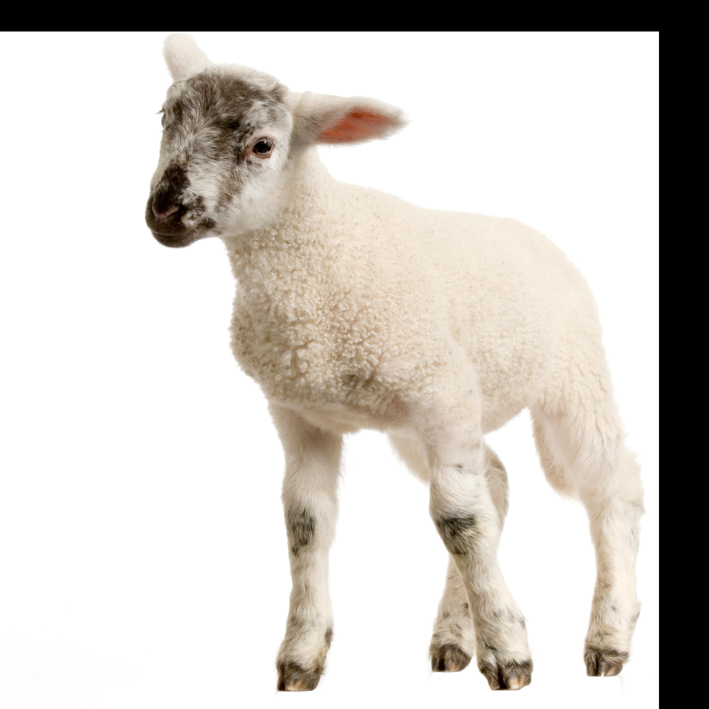 Baby Lamb PNG Image.
