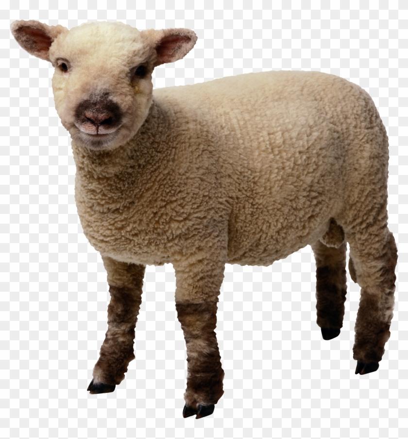 Baby Sheep Standing.