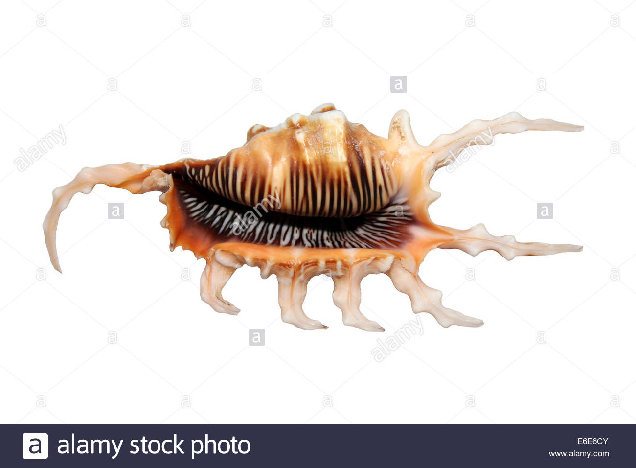 Scorpion Spider Conch Shell Lambis Scorpius Stock Photo, Royalty.