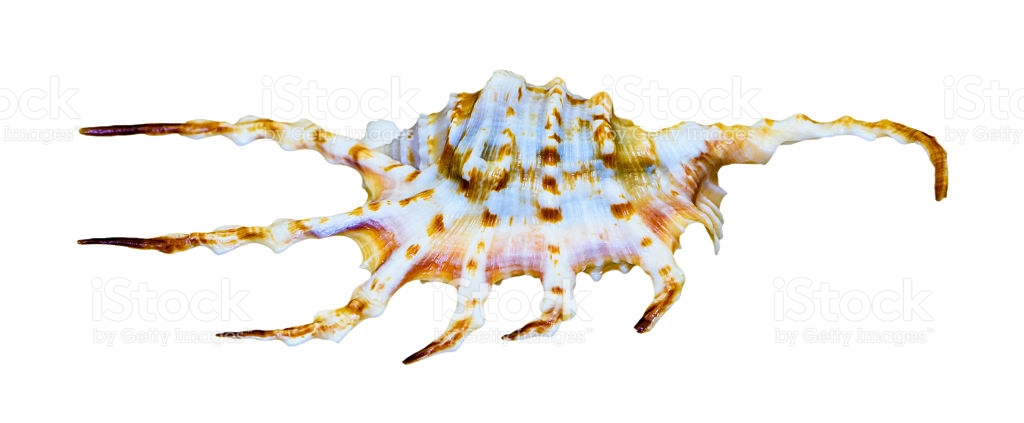 Shell Of The Orange Spider Conch Or Lambis Crocata stock photo.