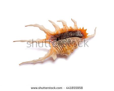 Seashell Of Lambis Scorpius, The Scorpion Conch Or Scorpion Spider.