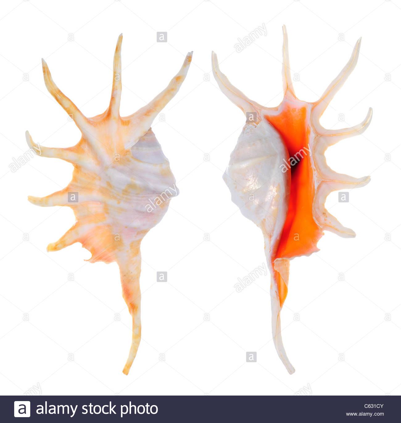 Orange Spider Conch (lambis Crocata Crocata) 14cm Stock Photo.