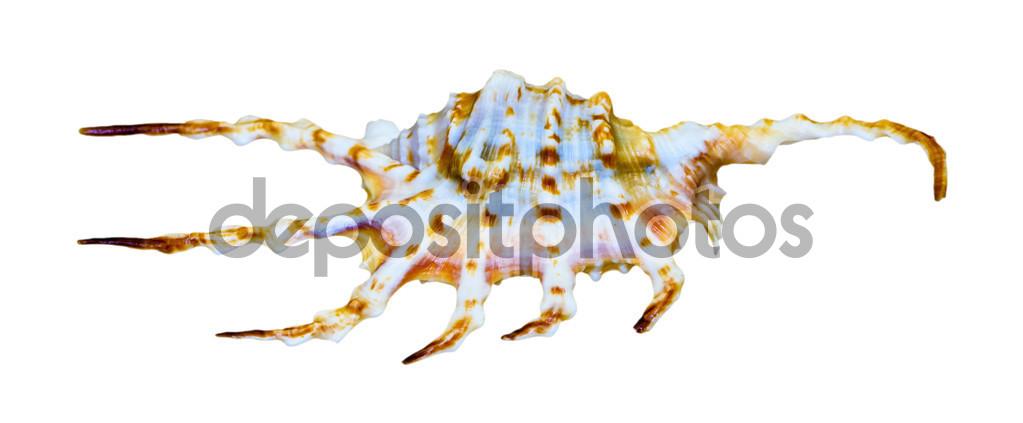Cáscara de la naranja araña caracol o Lambis crocata — Foto de.