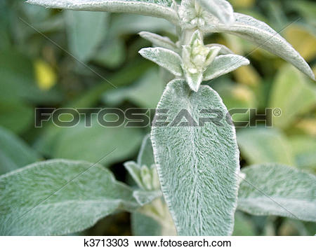 Stock Photo of Fuzzy Lambs Ear Plants in a Garden k3713303.