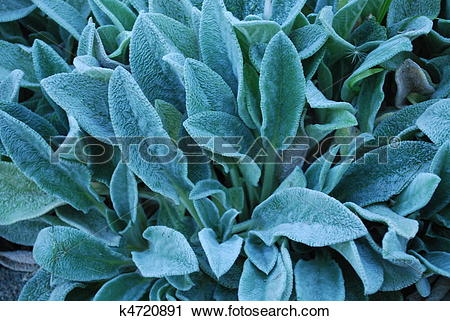 Stock Photography of Lamb's ear k4720891.