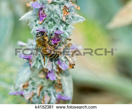 Stock Photography of Honeybee in a Flowering Lambs Ear Plant.