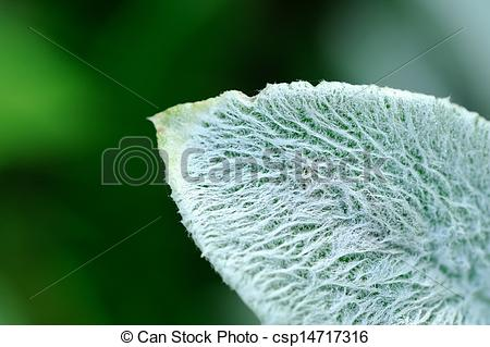 Stock Photography of Lanate Lamb's Ear Leaf Close.