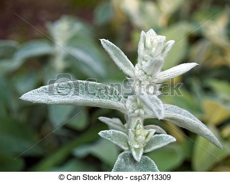 Stock Photographs of Fuzzy Lambs Ear Plants in a Garden csp3713309.
