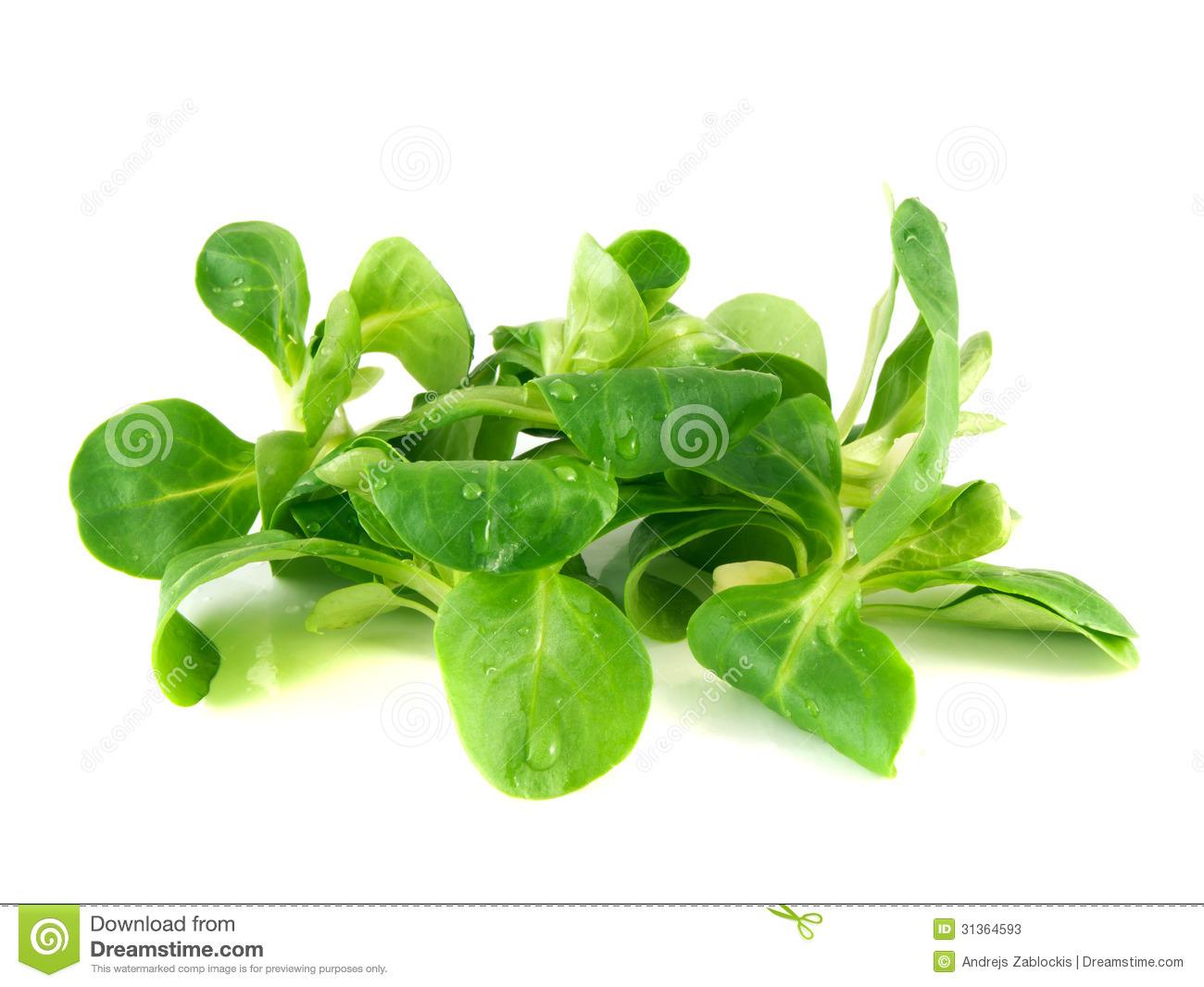 Valerianella Locusta, Corn Salad, Lamb's Lettuce Stock Photos.