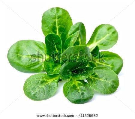 Popular Free Bunch of lettuce Photos.