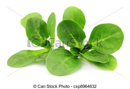 Stock Photo of Valerianella locusta,corn salad,lamb's lettuce.