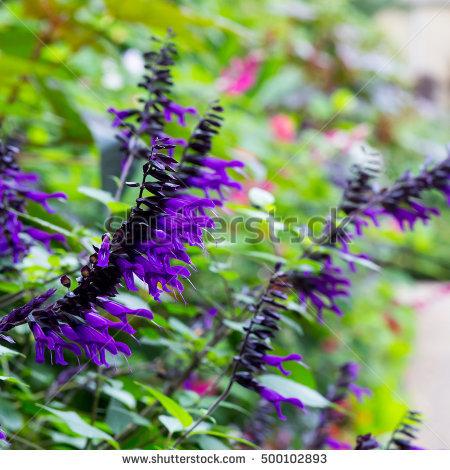 "salvia Flower"" Stock Photos, Royalty."