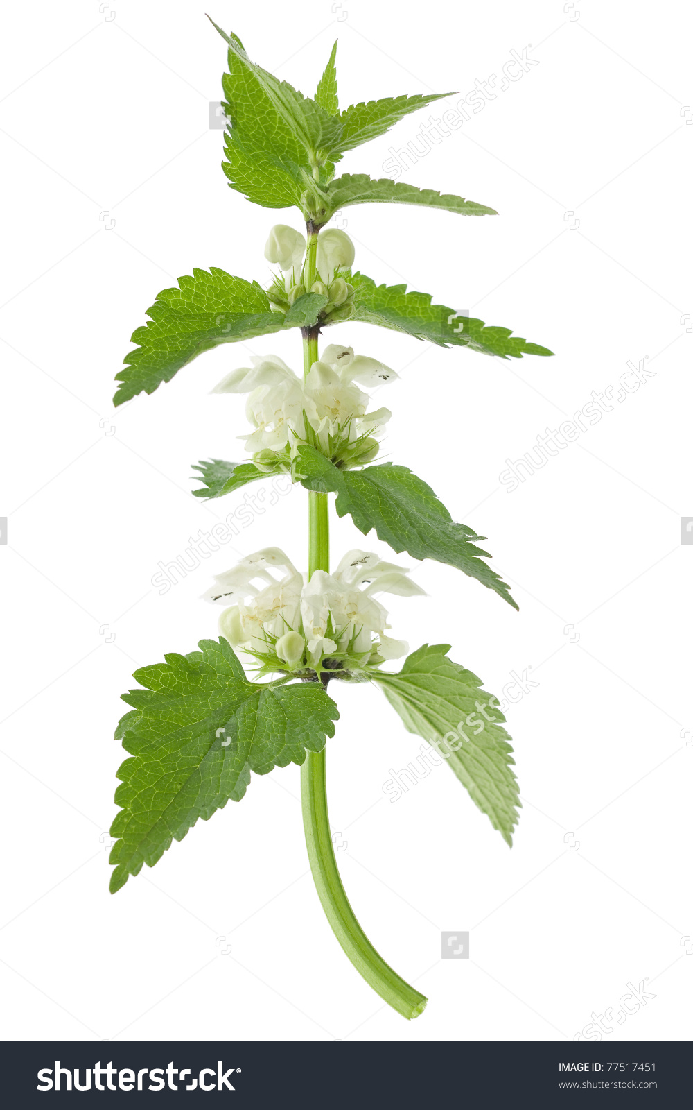 White Deadnettle Lamium Album On White Stock Photo 77517451.