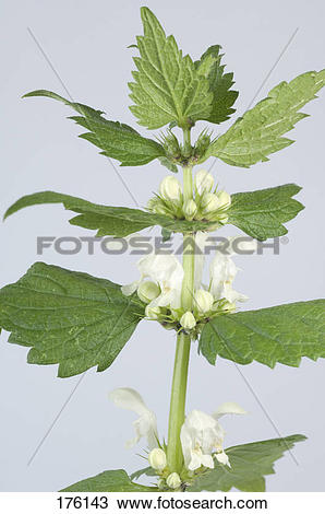 Stock Photo of White Dead Nettle (Lamium album), flowering stalk.
