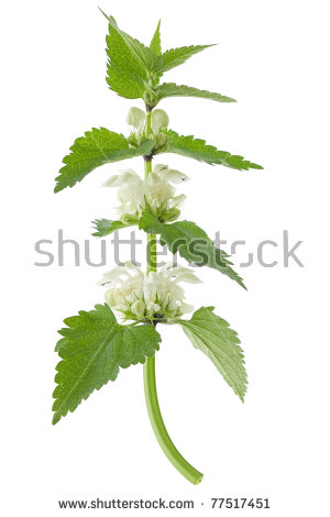White Deadnettle Lamium Album On White Stock Photo 77517451.