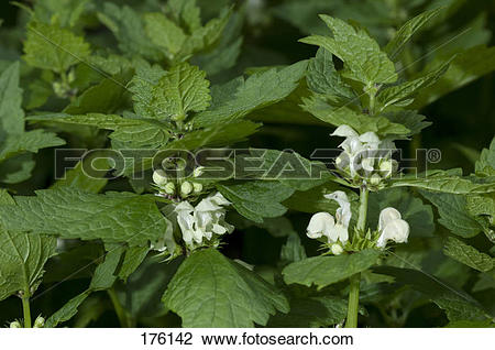 Stock Photo of White Dead Nettle (Lamium album), flowering plants.