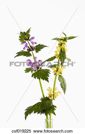 Stock Image of Lamium Purpureum and Lamium Galeobdolon flowers.