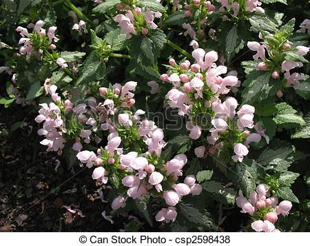 Pictures of Lamium spotted, or speckled (Lamium maculatum.