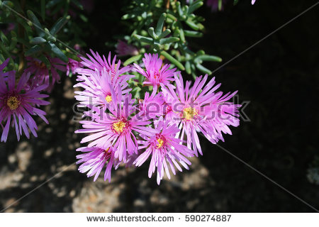 Lampranthus Stock Images, Royalty.