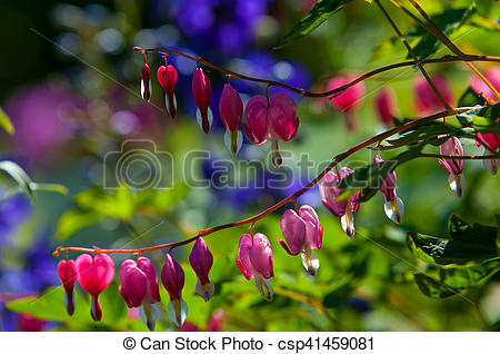 Pictures of Lamprocapnos spectabilis. bleeding heart. Asian.