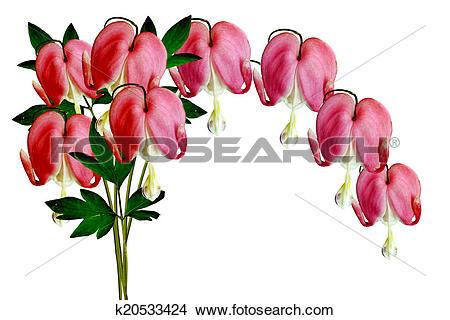 Stock Photo of Pink Bleeding Heart (Lamprocapnos Spectabilis.