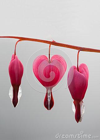 Lamprocapnos Spectabilis (bleeding Heart) Stock Photo.