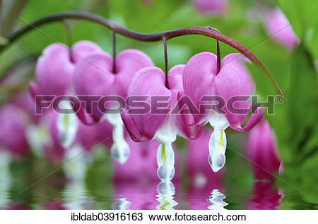 Stock Photo of Bleeding Heart (Lamprocapnos spectabilis) touches a.