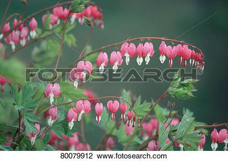 Stock Photo of DEU, 2003: Bleeding Heart (Lamprocapnos spectabilis.