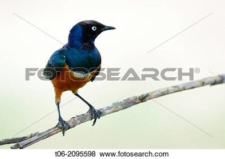 Pictures of Superb starling perched (Lamprotornis superbus) Masai.