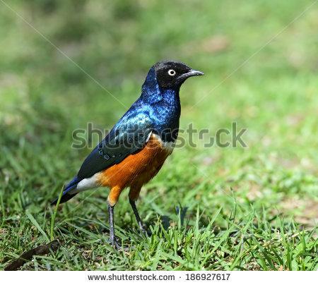 African Beautiful Bird Starling Superb Stock Photos, Images.