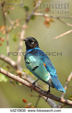 Stock Image of Superb Starling k5210635.