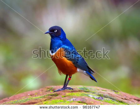 Superb Starling Stock Photos, Royalty.