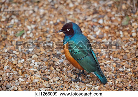 Stock Photograph of Superb Spreo Starling (Lamprotornis superbus.