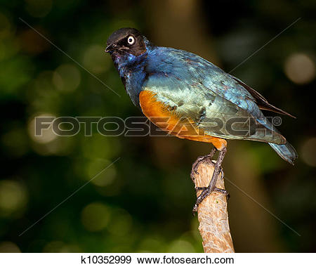 Stock Photograph of Superb Starling (Lamprotornis superbus.