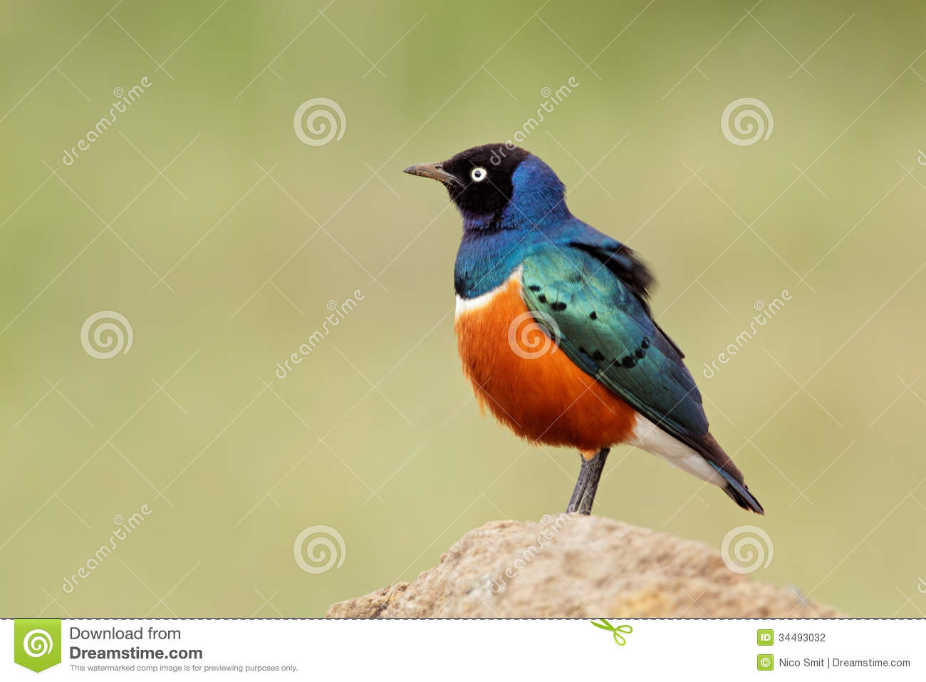 Superb Starling Stock Photography.
