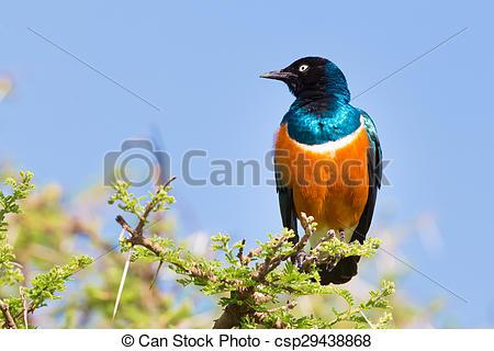 Stock Image of Superb Starling Bird, Lamprotornis superbus.