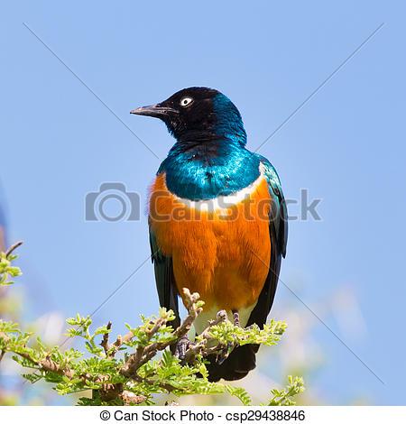 Stock Photo of Superb Starling Bird, Lamprotornis superbus.