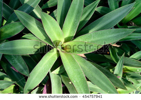 Spathacea Stock Photos, Royalty.