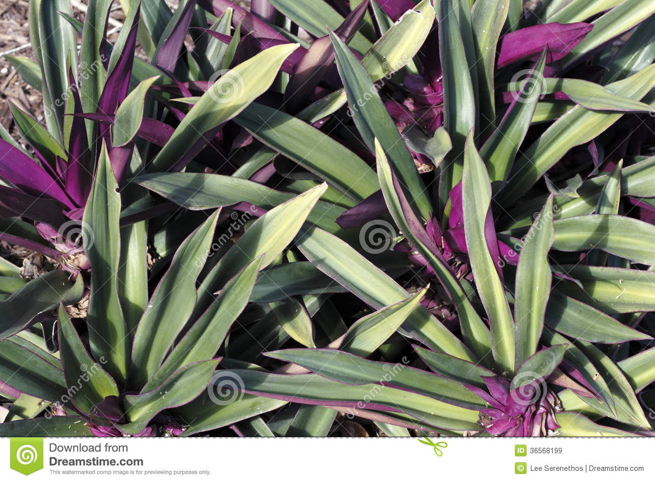Beautiful Green And Purple Plant Royalty Free Stock Images.