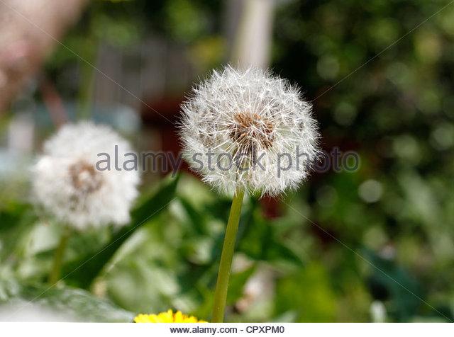 Dandelion Stalks Stock Photos & Dandelion Stalks Stock Images.
