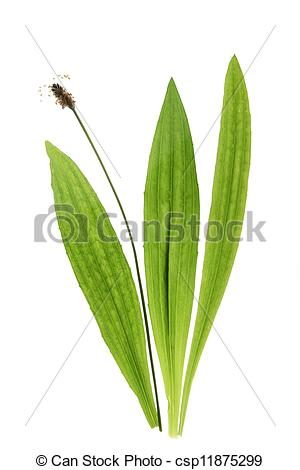 Stock Photographs of Ribwort plantain (Plantago lanceolata.