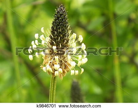 Stock Photography of Plantago lanceolata k9846701.
