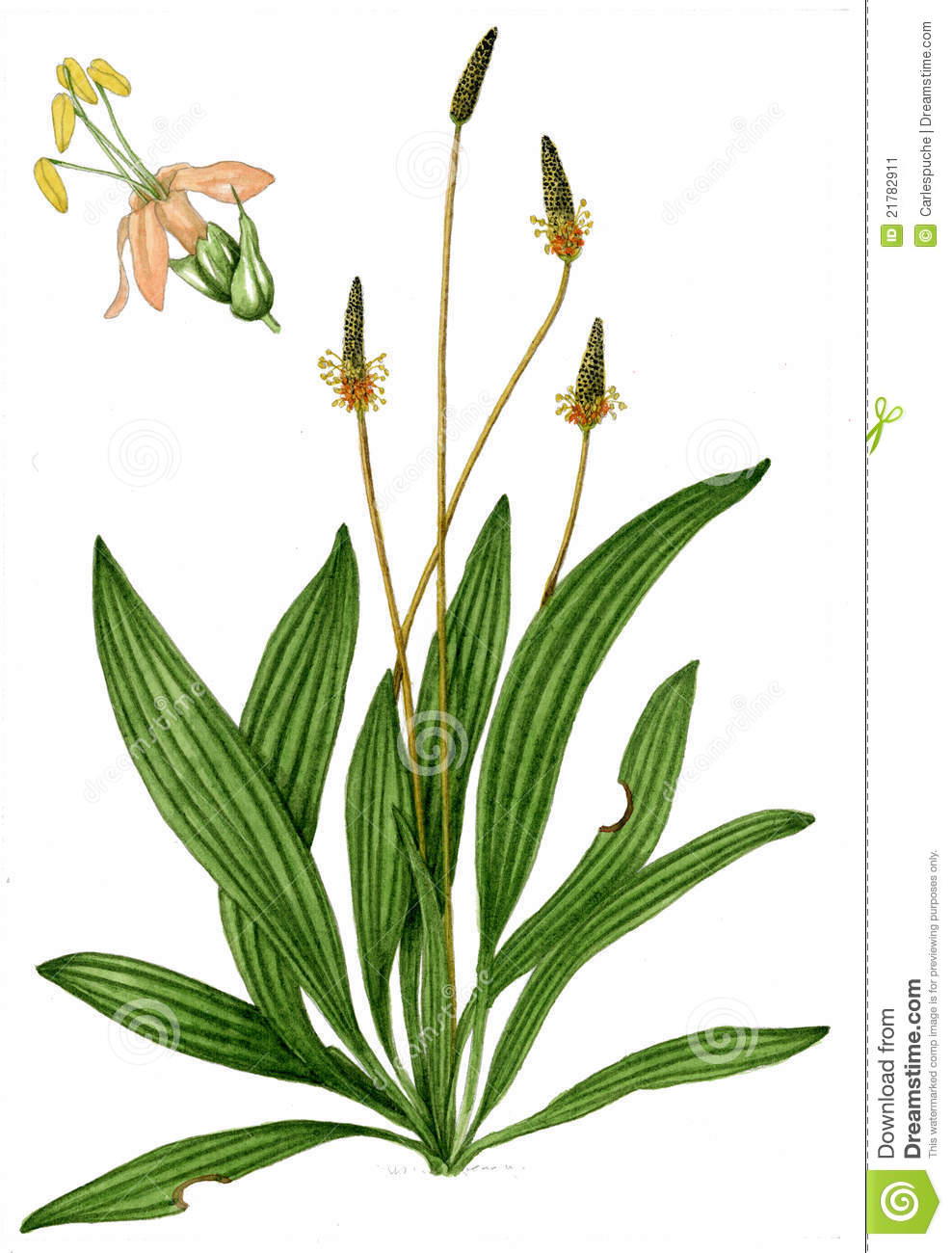 English Plantain (Plantago Lanceolata) Stock Image.
