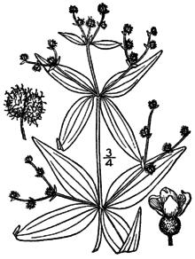 Galium lanceolatum.